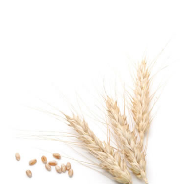In the baking industry, wheat is utilized primarily in the form of flour.