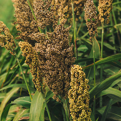 Sorghum grains can be used for a gluten-free flour.