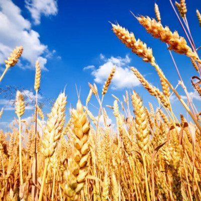 cultured wheat - natural preservative